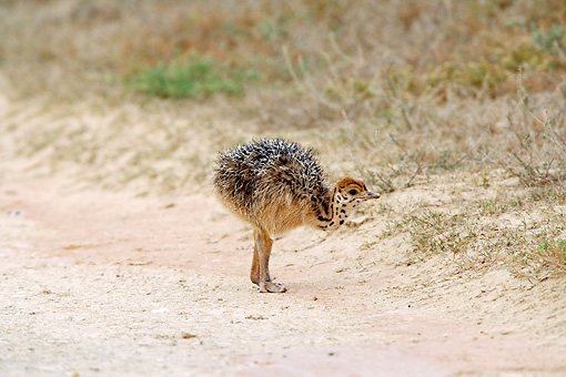 BRD 06 HP0002 01 © Kimball Stock Ostrich Chick Standing On Sand