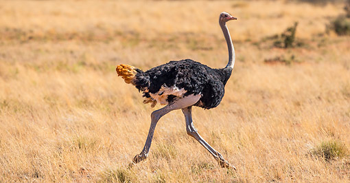 BRD 06 KH0001 01 © Kimball Stock Ostrich Male Running Through Kalahari Desert, South Africa