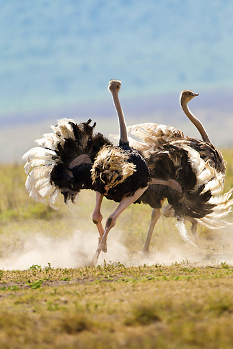 BRD 06 MC0003 01 © Kimball Stock Ostrich Male And Female In Courtship Display Tanzania