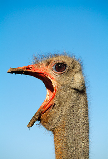 BRD 06 MH0001 01 © Kimball Stock Head Shot Of Ostrich Calling Against Blue Sky