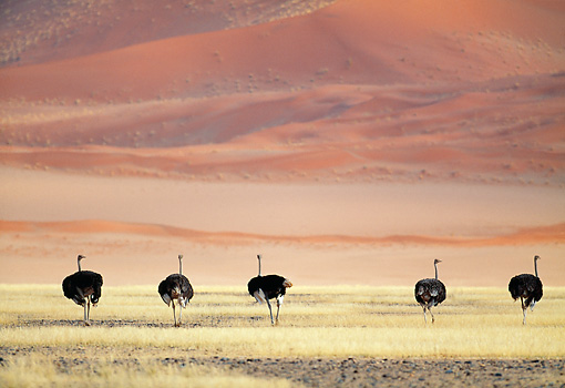 BRD 06 MH0002 01 © Kimball Stock Group Of Ostriches Walking Through Savanna Namibia