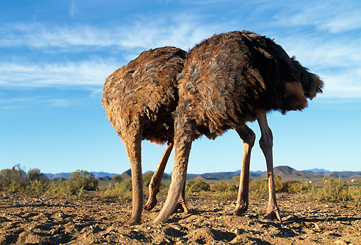 BRD 06 MH0003 01 © Kimball Stock Two Ostriches Burying Heads In Sand