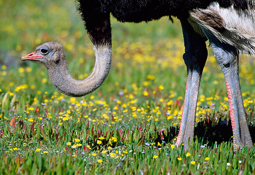 BRD 06 MH0004 01 © Kimball Stock Portrait Of Ostrich Standing On Grass South Africa