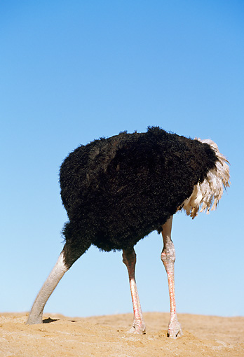 BRD 06 RK0003 04 © Kimball Stock Ostrich Standing On Dirt With Head In Hole Blue Sky