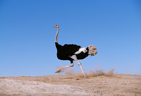 BRD 06 RK0008 39 © Kimball Stock Black Feathered Ostrich Running On Dirt Hill Blue Sky
