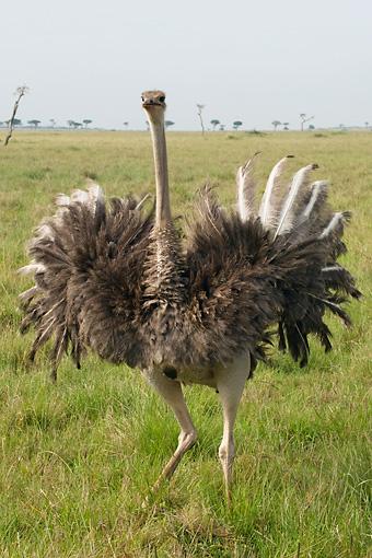 BRD 06 NE0001 01 © Kimball Stock Female Ostrich Attacking Spreading Wings Running On Savanna Kenya