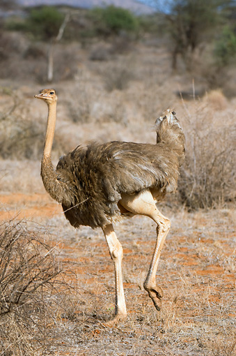BRD 06 NE0002 01 © Kimball Stock Female Ostrich Walking On Savanna Kenya