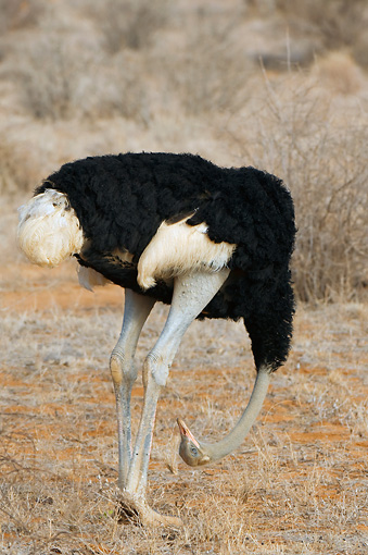BRD 06 NE0004 01 © Kimball Stock Male Ostrich Standing With Head Down On Savanna Kenya