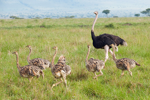 BRD 06 NE0007 01 © Kimball Stock Ostrich Family Walking On Savanna Kenya