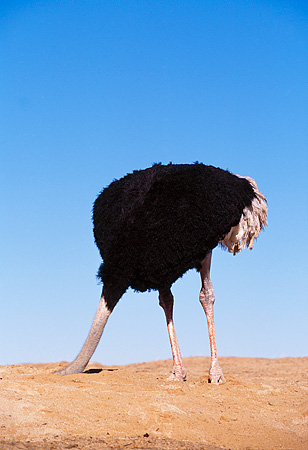 BRD 06 RK0003 08 © Kimball Stock Ostrich Standing On Dirt With Head In Hole Blue Sky