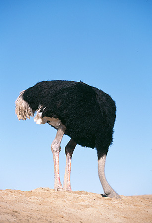 BRD 06 RK0005 01 © Kimball Stock Black Feathered Ostrich Standing With Head Inside Dirt Hole Blue Sky
