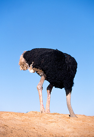 BRD 06 RK0005 05 © Kimball Stock Black Feathered Ostrich Standing With Head Inside Dirt Hole Blue Sky