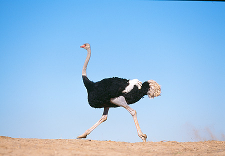 BRD 06 RK0008 07 © Kimball Stock Black Feathered Ostrich Running On Dirt Hill Blue Sky