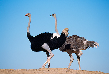 BRD 06 RK0010 02 © Kimball Stock Black And Gray Feathered Ostrich Standing Together On Dirt Blue Sky