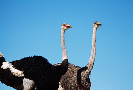 BRD 06 RK0011 02 © Kimball Stock Head Shot Of Black And Gray Feathered Ostrich Blue Sky