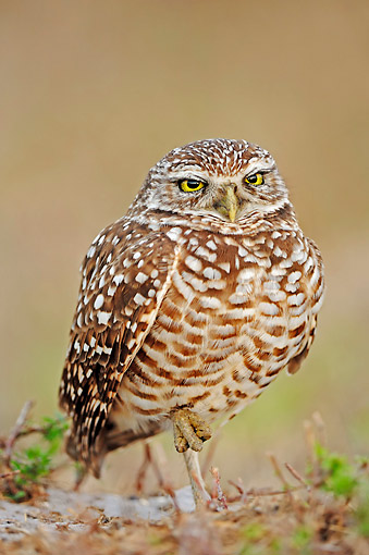 BRD 07 AC0027 01 © Kimball Stock Burrowing Owl Standing In Florida, USA
