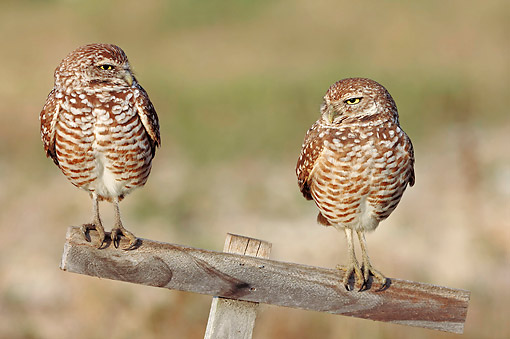BRD 07 AC0028 01 © Kimball Stock Burrowing Owls Standing On Wooden Pole In Florida, USA
