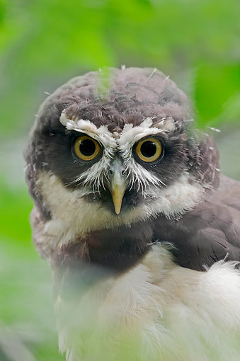 BRD 07 AC0029 01 © Kimball Stock Spectacled Owl Staring