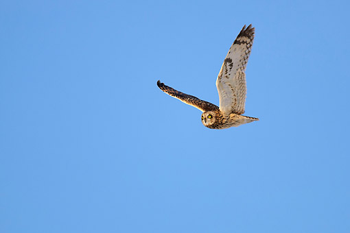 BRD 07 AC0032 01 © Kimball Stock Short-Eared Owl Flying In Lower Saxony, Germany