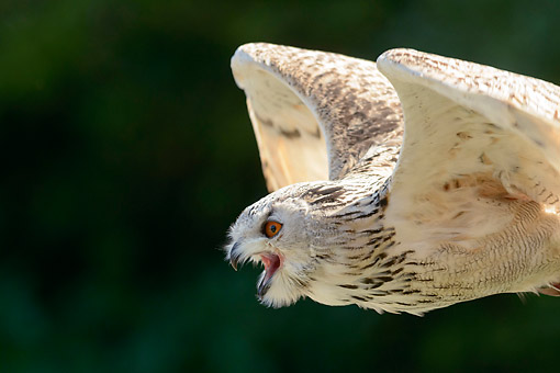 BRD 07 AC0033 01 © Kimball Stock Eagle Owl Flying
