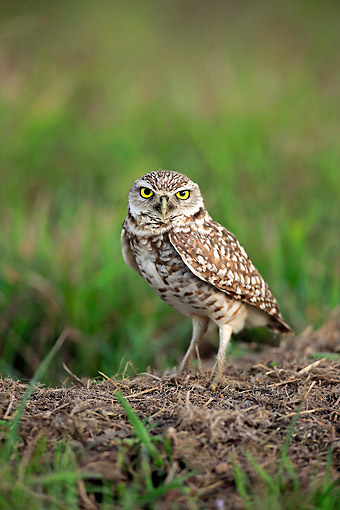 BRD 07 AC0034 01 © Kimball Stock Burrowing Owl Standing In Cape Coral, Florida, USA