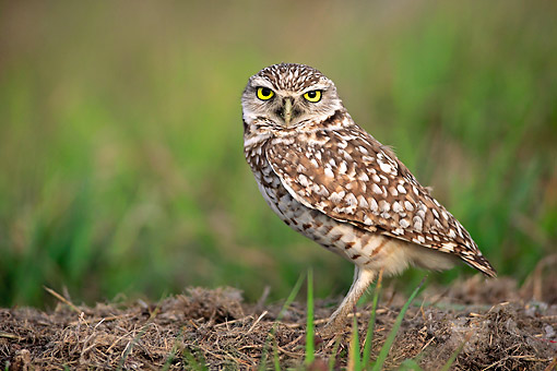BRD 07 AC0035 01 © Kimball Stock Burrowing Owl Standing In Cape Coral, Florida, USA