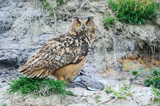 BRD 07 AC0037 01 © Kimball Stock Eagle Owl Standing With Seized Wood Pigeon In Lower Saxony, Germany