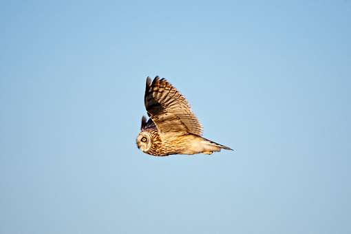 BRD 07 DA0001 01 © Kimball Stock Short-Eared Owl Flying Over Prairie Ridge State Natural Area, Illinois