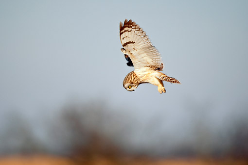 BRD 07 DA0002 01 © Kimball Stock Short-Eared Owl Flying Over Prairie Ridge State Natural Area, Illinois