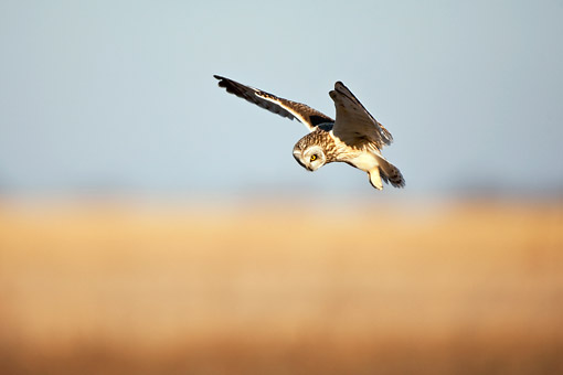 BRD 07 DA0003 01 © Kimball Stock Short-Eared Owl Flying Over Prairie Ridge State Natural Area, Illinois