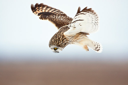 BRD 07 DA0004 01 © Kimball Stock Short-Eared Owl Flying Over Prairie Ridge State Natural Area, Illinois