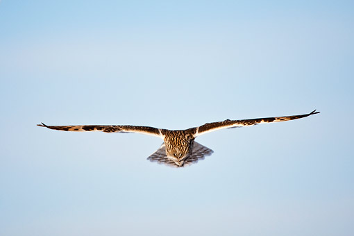 BRD 07 DA0005 01 © Kimball Stock Short-Eared Owl Flying Over Prairie Ridge State Natural Area, Illinois