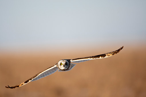 BRD 07 DA0006 01 © Kimball Stock Short-Eared Owl Flying Over Prairie Ridge State Natural Area, Illinois