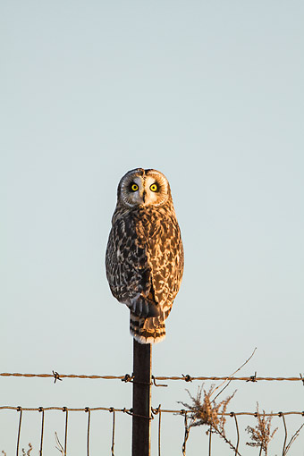 BRD 07 DA0007 01 © Kimball Stock Short-Eared Owl Perched On Fence Post In Prairie Ridge State Natural Area, Illinois