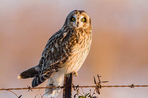 BRD 07 DA0009 01 © Kimball Stock Short-Eared Owl Perched On Fence Post In Prairie Ridge State Natural Area, Illinois