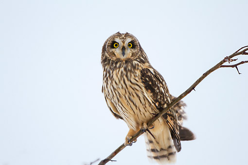 BRD 07 DA0010 01 © Kimball Stock Short-Eared Owl Perched On Branch In Prairie Ridge State Natural Area, Illinois
