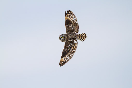 BRD 07 DA0011 01 © Kimball Stock Short-Eared Owl In Flight In Winter At Prairie Ridge State Natural Area, Illinois