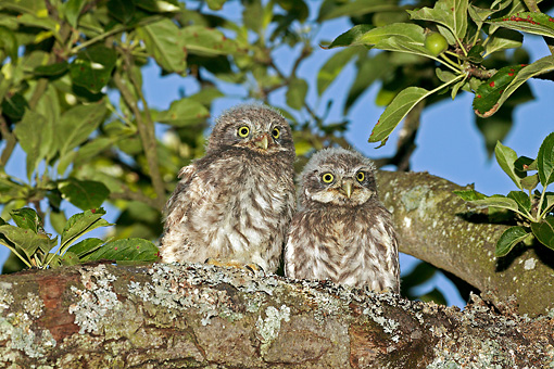 BRD 07 GL0003 01 © Kimball Stock Little Owl Fledglings Perched On Tree Branch Near Nest