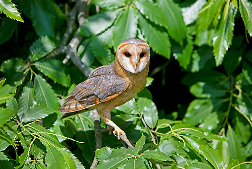 BRD 07 GL0005 01 © Kimball Stock Barn Owl Perched On Branch In Chestnut Tree
