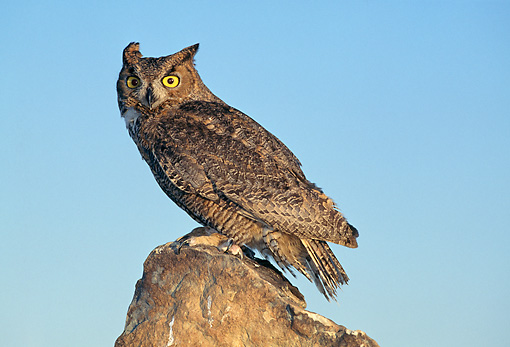 BRD 07 GL0009 01 © Kimball Stock Great Horned Owl Standing On Rock