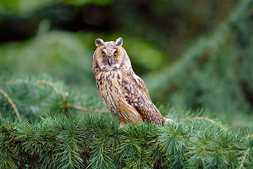 BRD 07 GL0012 01 © Kimball Stock Long-Eared Owl Sitting In Pine Tree In France
