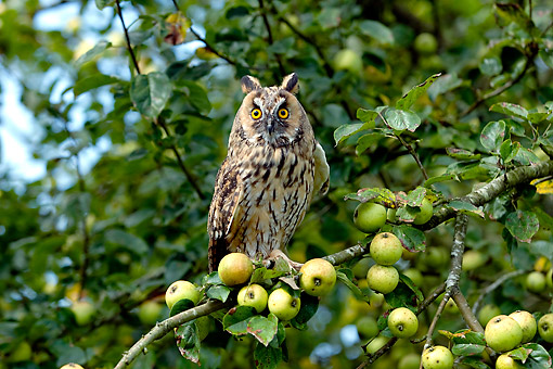 BRD 07 GL0015 01 © Kimball Stock Long-Eared Owl Sitting In Apple Tree In France
