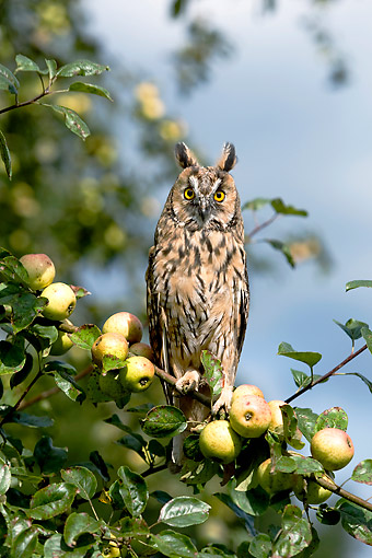 BRD 07 GL0016 01 © Kimball Stock Long-Eared Owl Sitting In Apple Tree In France