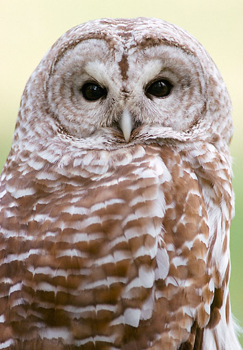 BRD 07 GR0004 01 © Kimball Stock Portrait Of Barred Owl