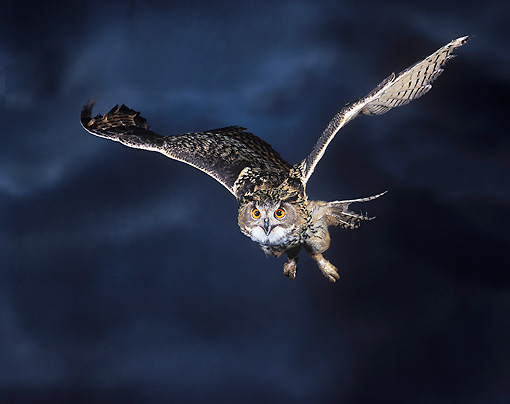 BRD 07 JE0001 01 © Kimball Stock Eurasian Eagle Owl Flying Through Night Sky