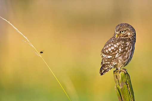 BRD 07 KH0003 01 © Kimball Stock Little Owl Sitting On Picket In Park Looking At Insect