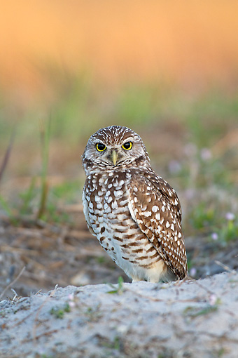 BRD 07 LS0005 01 © Kimball Stock Burrowing Owl Sitting At Burrow In Sandy Soil Before Dawn Lee County, Florida