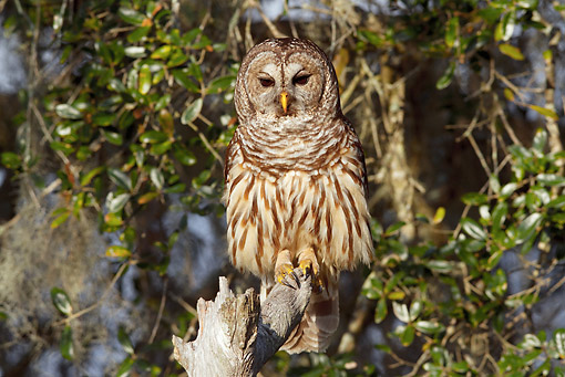 BRD 07 LS0006 01 © Kimball Stock Southern Barred Owl Perched On Snag Florida