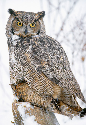 BRD 07 MC0001 01 © Kimball Stock Portrait Of Great Horned Owl Eating Grouse In Snow