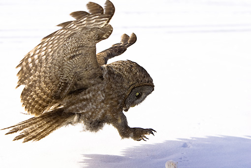 BRD 07 MC0003 01 © Kimball Stock Close-Up Of Great Gray Owl Landing On Snow Montana
